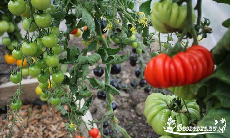 Лучшие сорта помидор для открытого грунта - какие самые ранние, самые урожайные, лучшие помидоры для консервации и устойчивые к фитофторе