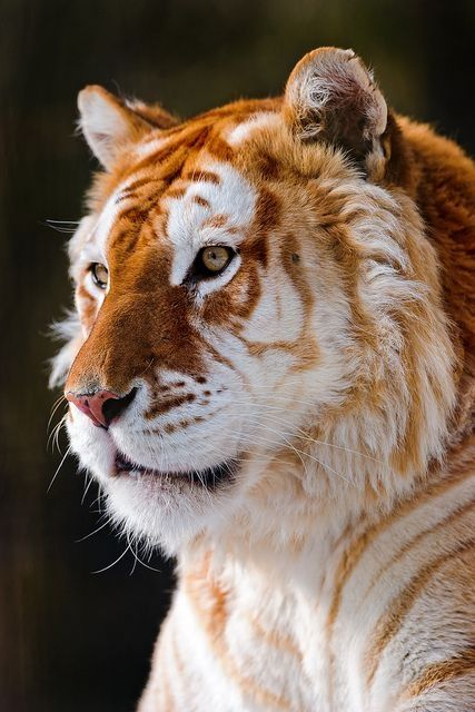 Golden tiger - extremely rare species around Asia