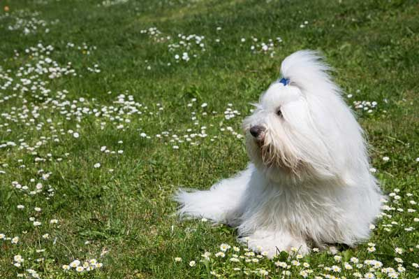 Find out why so many people cotton to the Coton de Tulear!