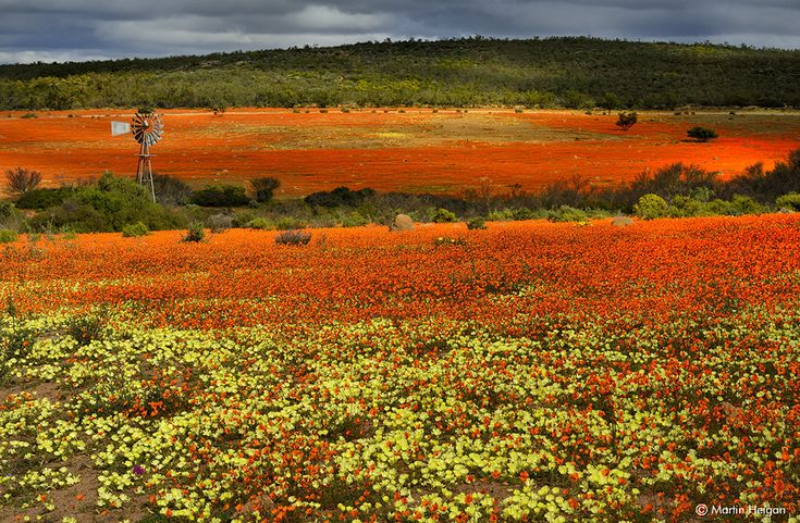 Wildflowers | Namaqualand | South Africa #SouthAfrica
