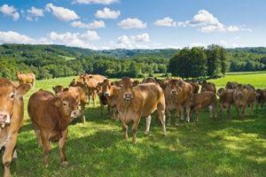 La vente directe de viande par l'éleveur n'offre que des avantages. On sait d'où provient le produit, on s'épargne le surcoût des intermédiaires et du transport : http://www.vuparici.fr/viande-vente-directe-ferme-piemont-alsace/  #westhoffen   #alsace   #circuitcourt