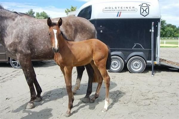 Pferde zu verkaufen: SF von Numero Uno