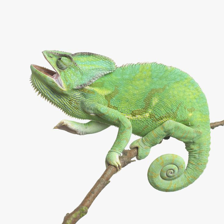 What Types of Chameleons are Good for Beginners?