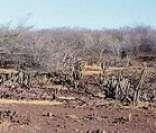 Caatinga: vegetação típica do clima semiárido do sertão nordestino