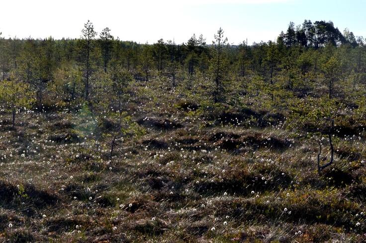 Haapasuo Leivonmäen kansallispuistossa.