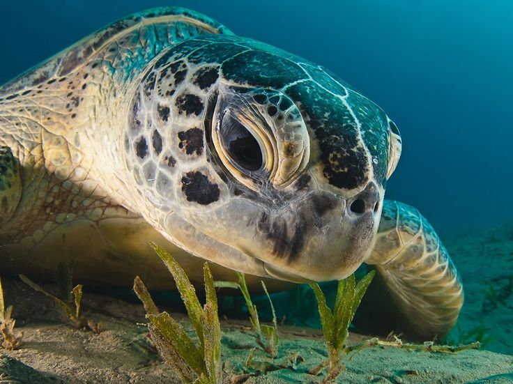 See a photo of a green sea turtle swimming in the Red Sea and download free wallpaper from National Geographic.