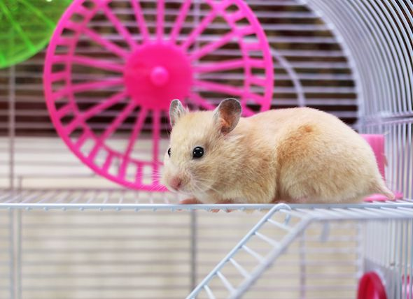 Hamster Habitats: Where do Hamsters Live | petMD