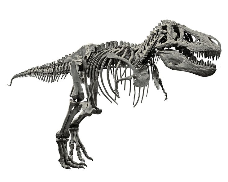 17 Best Images About Dinosaurs Skeleton And Skulls On