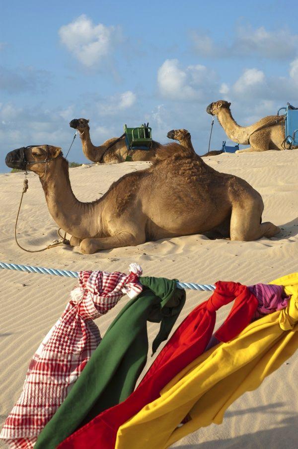 Camelos em Natal - Rio Grande do Norte