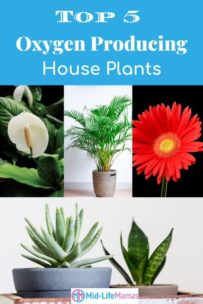 Top 5 Oxygen Producing House Plants | House plants, Plants ...