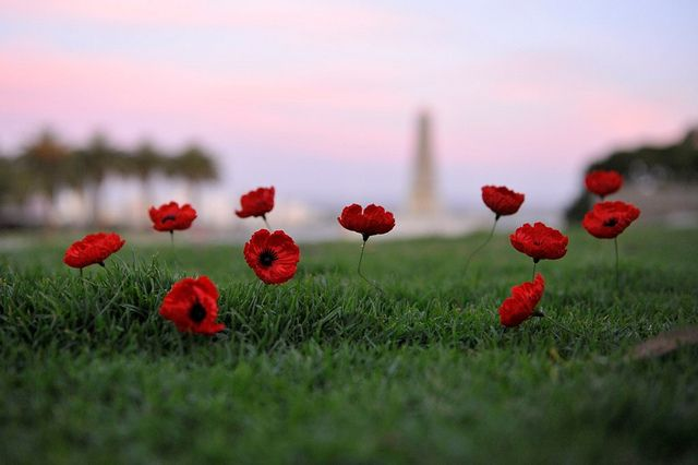 11 Poppies for Remembrance Day | Flickr - Photo Sharing!