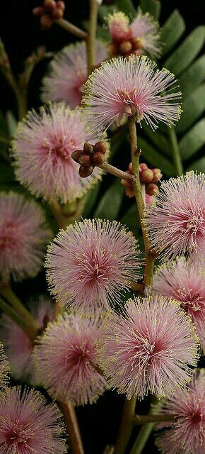 Unusual pink flowered form of Acacia terminalis (sunshine wattle). Tasmania, Australia