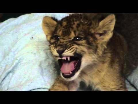 Instead of the fierce #roar of a #king of the jungle, the #lion cub in this #video only manages to utter a #cute squeak! His handlers seem to think it's #adorable. Do you?Cute Animal, Cubs Learning, Baby Lions, Ass Cat, Youtube, Animal Videos, Roaring, Lion Cubs, Favorite Videos