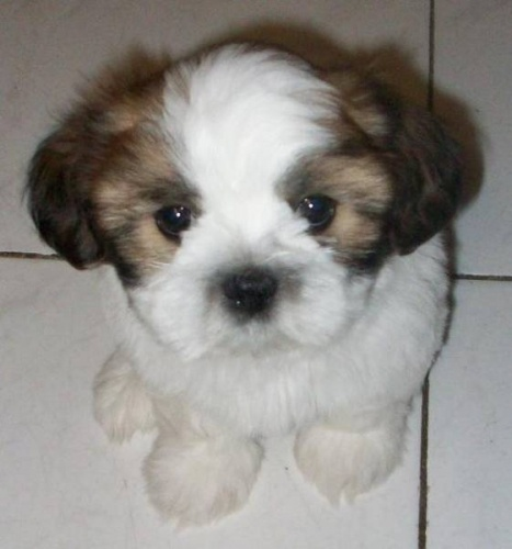 rescue shih tzu 28 best shih tzu images on pinterest puppies puppys and 4217
