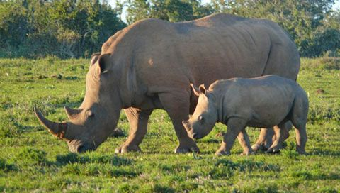 Rhino mother and calf in Bucklands Private Game Reserve.