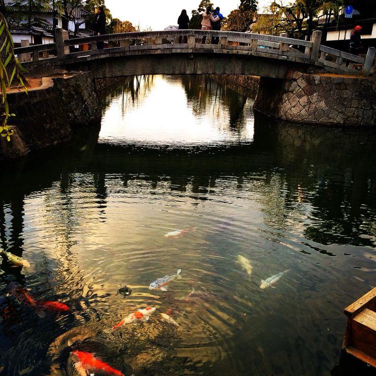 美観地区の鯉