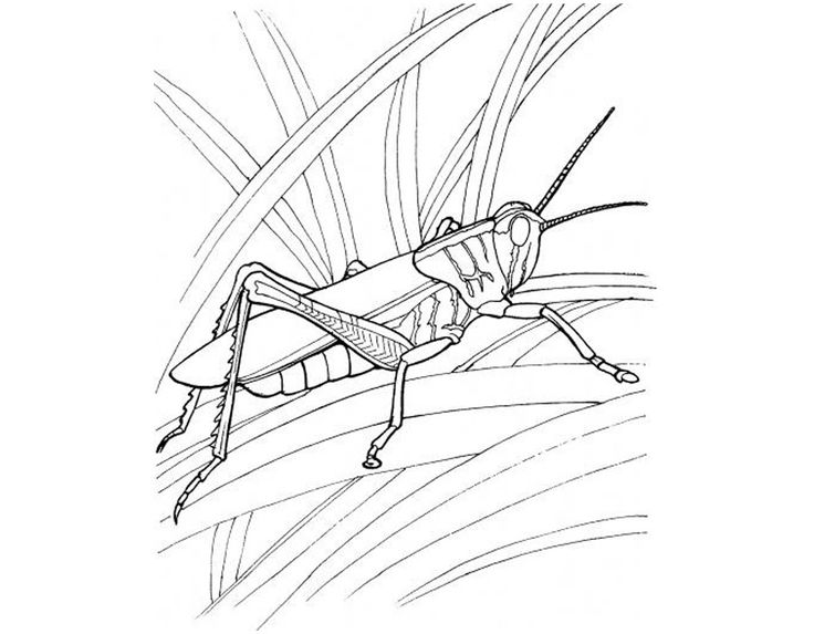 find this pin and more on grasshopper coloring pages