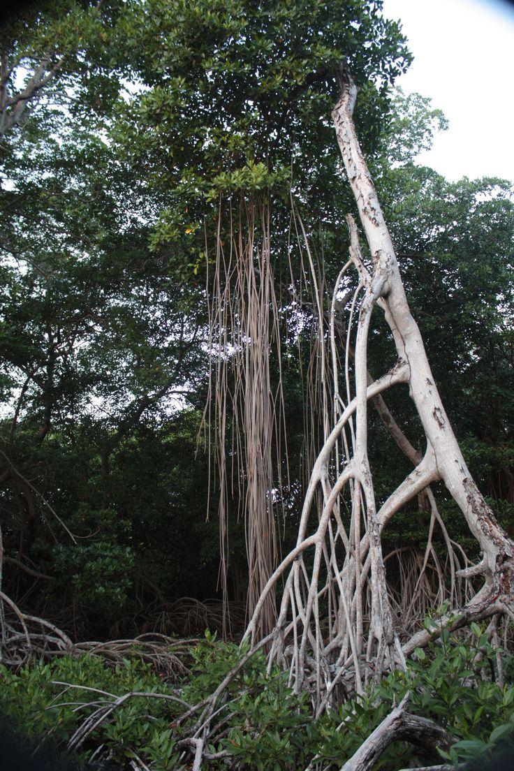 Los manglares son especies de bosques de plantas leñosas (mangles) que se desarrollan en lagunas, riberas y en costas tropicales protegidas del oleaje. Debido a su ubicación costera siempre están en contacto con cuerpos de agua de origen marino. Isla Fuerte cuenta con numerosas zonas de manglar, donde se puede apreciar el desarrollo natural de este importante ecosistema tropical.