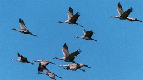 Osa 7: Kurki Seitsemäs Luontoruutu kertoo kurjesta. Kurki on iso lintu, joka voi olla jopa 120 senttimetriä pitkä. Lue ja kuuntele lisää kurjesta