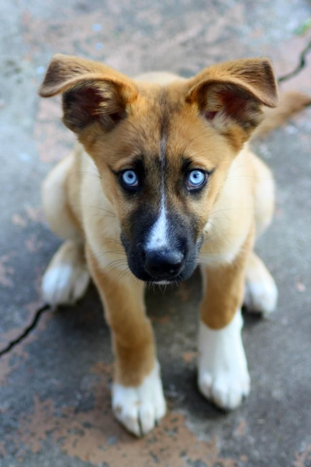 New Puppy Honeybear Husky German Shepard Mix In 2020 Puppies