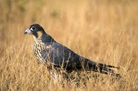Image result for faucon pelerin