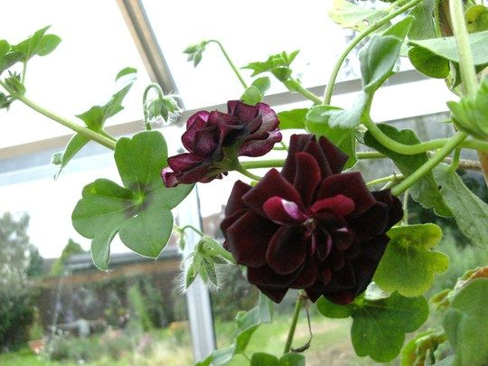 how to change the colour of geranium