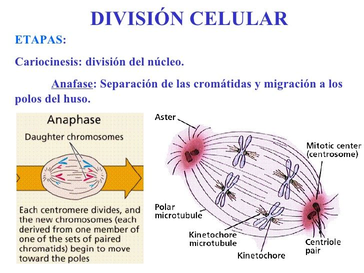 Mejores 8 imágenes de la celula en Pinterest | Biología celular ...