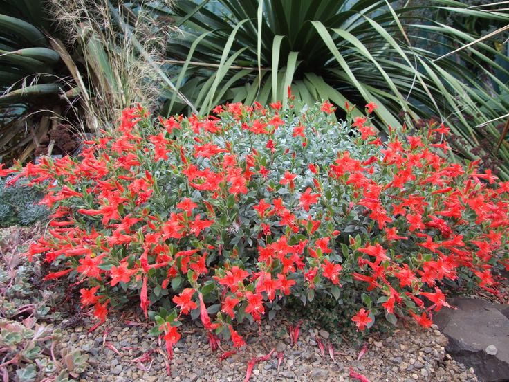 Zauschneria 'Mattole Select' also known as California Fuchsia is a good long blooming perennial with silver/green foliage, wants sun and gritty soil  Google Image Result for http://www.dancingoaks.com/shop/images/ZauschneriaMattoleSelect0909pr.JPG
