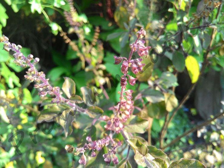 1000+ Seeds Holy Basil Krishna Black Tulsi Ocimum Tenuiflorum Sanctum NO GMO