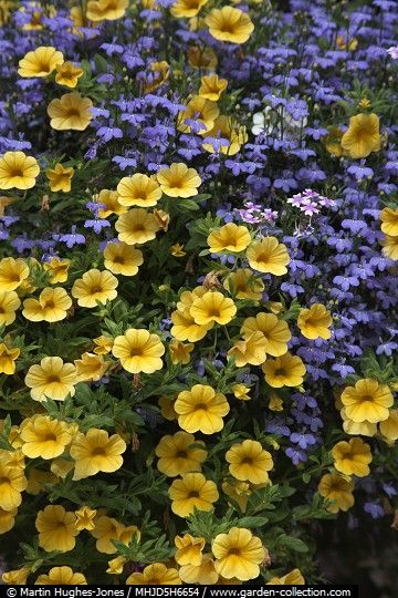 A beautiful plant combination of blue lobelia and yellow million bells