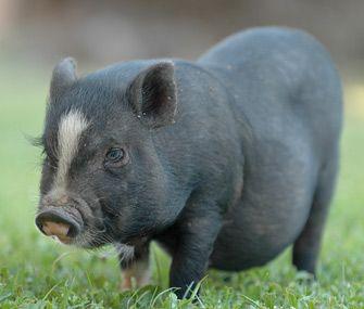 pot belly pigs: Mukota pigs