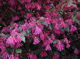 flowering shrub for sandy soil and shade - Google Search