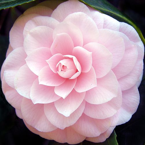camellia flower - My destiny is in your hands