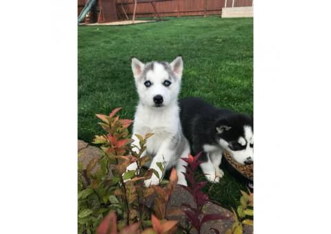 8 week old blue eyed husky puppies for sale puppies for