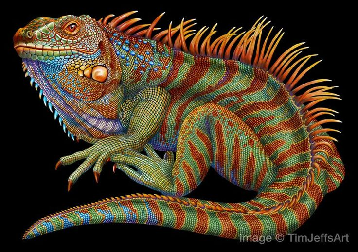 incredibly detailed pencil crayon drawings of iguana and chameleon by tim jeffs (1)