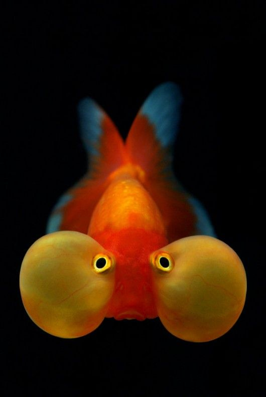 Bubble Eyed Goldfish. I had one of these as a child, but it's cheek/eye bubble thing got caught in the filter and popped! It swam sideways after that! Haha!