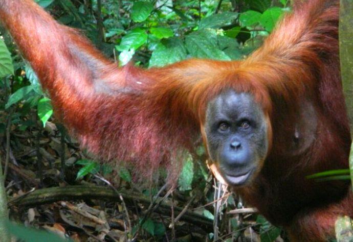 Large Female Orangutan in Gunung Leuser NP with TrekSumatra