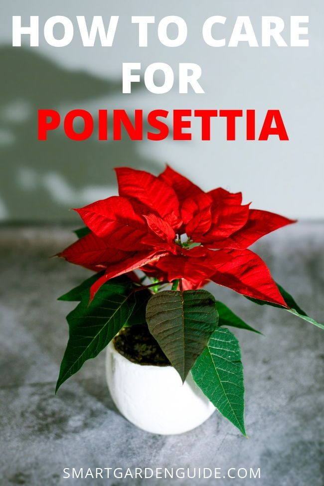 Poinsettia Plant Care Tips Poinsettia Plant Decor For The Holiday Season Poinsettia Plants Make A Gre Poinsettia Plant Plant Care Houseplant Christmas Plants
