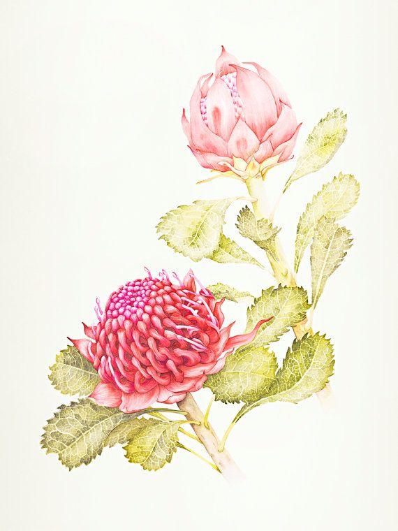 Waratah Botanic Illustration Fine Art Print 12 x by kateknottart, $40.00