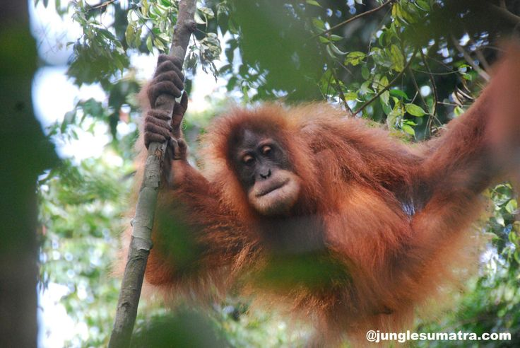 "Sumatran Orangutan. Her name is ""Wati"" she was born 10 years ago. Its can be nice experience if you see her in the jungle, moving from tree to other tree and she use also lians. Start your Jungle Sumatra Adventure and meet with her..."