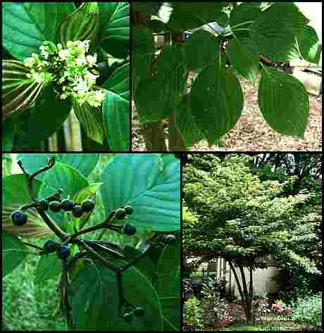 17 best linden trees images on pinterest landscaping for Garden law trees