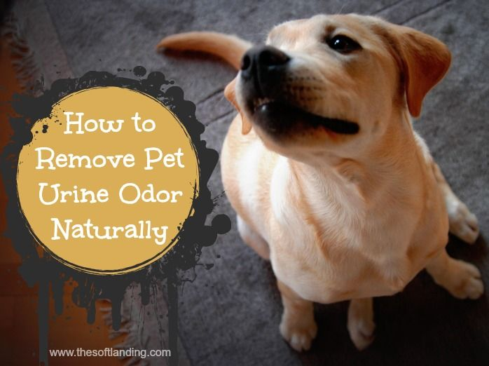 How to Remove Pet Urine Odor Naturally 4oz hydrogen peroxide (no stronger than 3% so you don't bleach your carpet fibers) 1 tsp baking soda 1 tsp white vinegar 1/2 tsp castile soap 3-5 drops orange essential oil (Earth Mama Angel Baby's castile soap already has this essential oil in it)