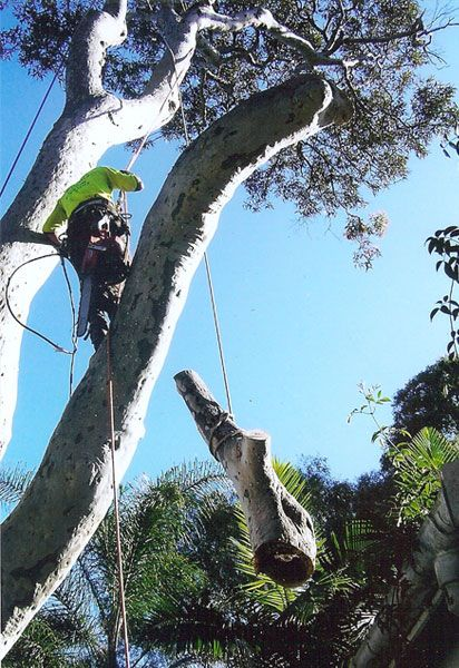 Banksia Arborcare is one of the most experienced tree removal companies dealing with all kinds of tree cutting services in Sydney.