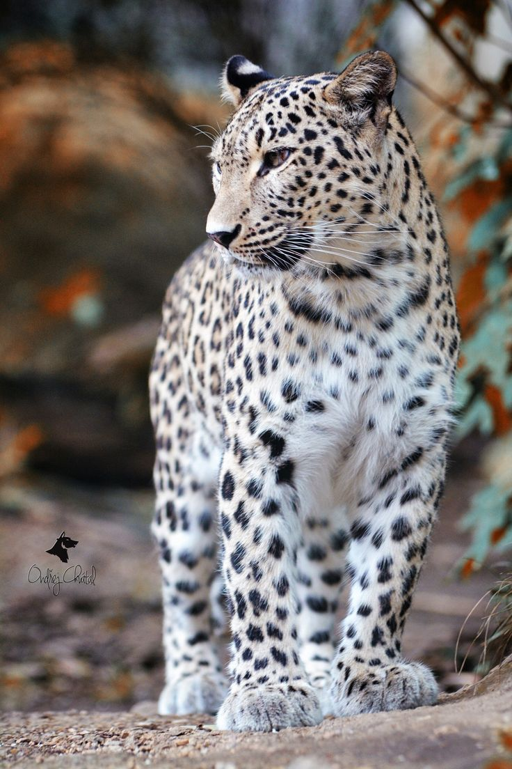 Persian leopard - autumn starts                                                                                                                                                                                 More
