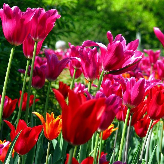 Ottawa Tulip Festival, Ottawa, Ontario, Canada