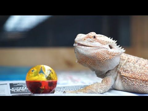 Cat toy with playful lizard, chasing ball and having fun. Music video of enrichment for reptile. - YouTube