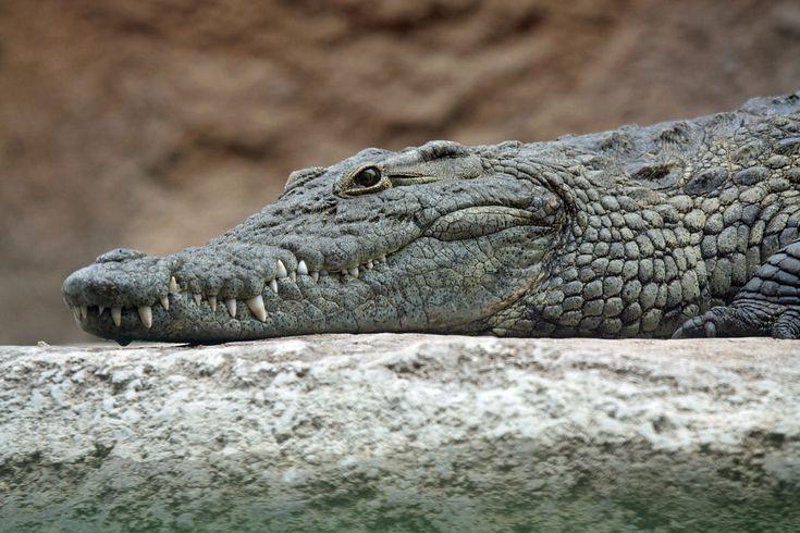 Crocodile - Wikiwand