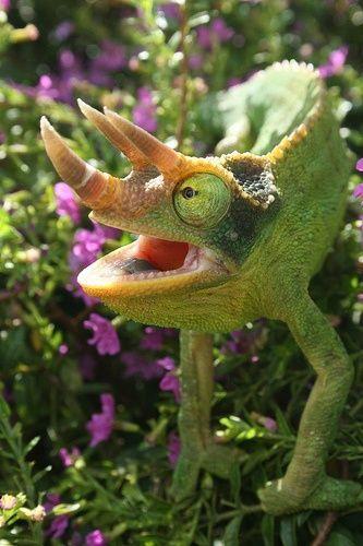 Trioceros jacksonii (common names Jacksons Chameleon or Three-horned Chameleon)