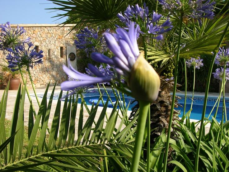 Agapantos in spring, Villa Emilia, Soller