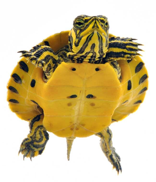 Yellow Belly Turtle